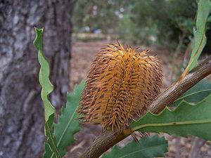 Banksia quercifolia 01 gnangarra.jpg