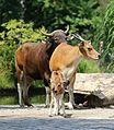 Banteng Tierpark Hellabrunn-7.jpg