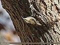 Bar-tailed Tree-creeper (Certhia himalayana) (16366763070).jpg