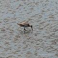 Bar-tailed godwit tidal strand Sandgate Bramble Bay Queensland P1090353.jpg