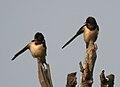 Barn Swallow (Hirundo rustica) in Hyderabad W IMG 4299.jpg