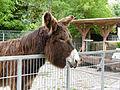 Baudet du Poitou donkey Esel 02.jpg