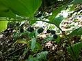 Bazantnice v Uhersku (06) - Polygonatum odoratum.JPG