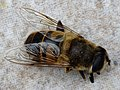 Bee (136242547).jpeg