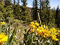 Bee pollinating yellow flowers.jpg