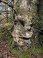Beech near Thorns Cross - geograph.org.uk - 748872.jpg