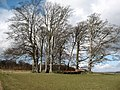 Beeches in Bramham Park - geograph.org.uk - 720607.jpg