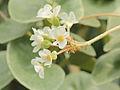 Begonia venosa-IMG 4460.jpg