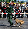 Belgischer Schaeferhund Belgian Shepherd Malinois.JPG