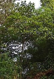 Jambu tangkalak wikivisually pohon tinggi 8 meter ccuart Gallery