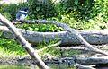 Belted kingfisher - Flickr - brewbooks.jpg