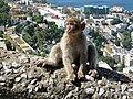 Berberaffen Gibraltar 11.jpg