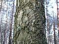 Betula obscura Kotula 1.jpg