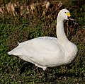 Bewick Swan 2 (6353878279).jpg