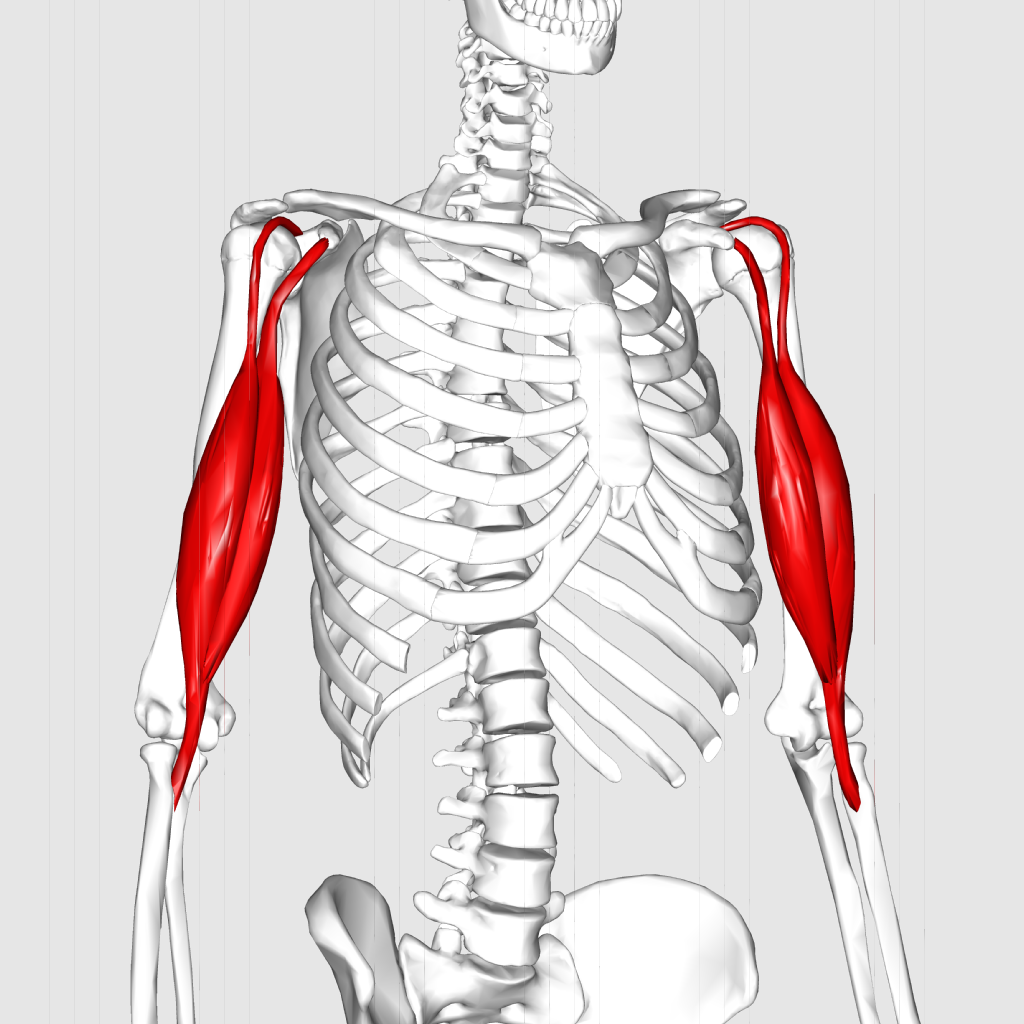 File:Biceps brachii muscle03.png - Wikimedia Commons