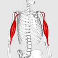 Biceps brachii muscle03.png