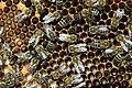 Bienen mit Brut 2.jpg