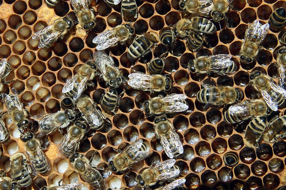 Bienen mit Brut 2