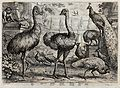 Birds and animals in a neo-classical garden; ape, cassowary, Wellcome V0022165.jpg