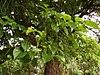Bischofia javanica (flowers,leaves)
