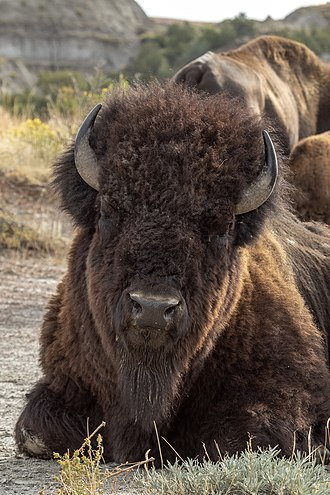 Theodore Roosevelt National Park - Image: Bison Theodore Roosevelt NP ND1