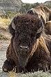 Bison Theodore Roosevelt NP ND1.jpg