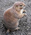 Black-tailed Prairie Dog (Cynomys ludovicianus) eating in Zoo Budapest 011.JPG