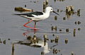 Black-winged Stilt, Common Stilt, or Pied Stilt, Himantopus himantopus at Marievale Nature Reserve, Gauteng, South Africa (23390185132).jpg