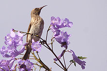 Female bird perched in a Jacaranda tree