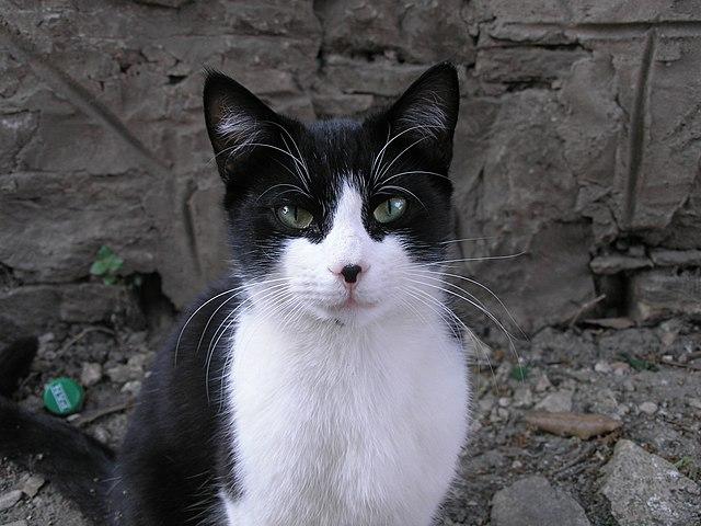 Persian Black Cat Names