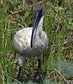 Black headed ibis1.jpg