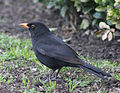 Blackbird in Madrid (Spain) 18.jpg