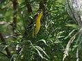 Blackburnian Warbler (29280919353).jpg