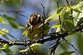 Blackburnian Warbler (female) Sabine Woods TX 2018-04-22 14-35-13 (28120469208).jpg