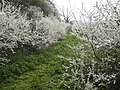 Blackthorn in bloom - geograph.org.uk - 398463.jpg