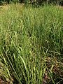 Blady grass habitii.jpg