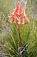 Blandfordia Punicea - Arthur Plains, Tasmania.jpg