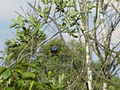 Blaukehlchen (Luscinia svecica) im Dosenmoor.jpg