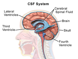 Cerebrospinal fluid - Image showing the location of CSF highlighting the brain's ventricular system