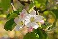 Blossom (154112411).jpeg