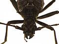 Blosyropus spinosus3.jpg