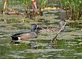 Blue-winged Teal (34173389521).jpg