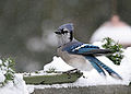 Blue Jay Series, Looking At You Kid! (3131266757).jpg