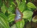 Blue Morpho butterfly 01.jpg