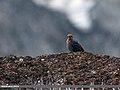 Blue Rock Thrush (Monticola solitarius) (20496919508).jpg