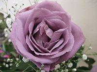 blue rose wikipedia