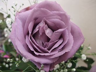 "Genetically modified organism - Suntory ""blue"" rose"