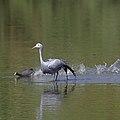 Blue crane and speeding coot (37871563075).jpg