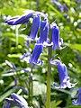 Bluebell 2 (Hyacinthoides non-scripta) (3466503904).jpg