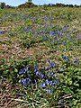 Bluebells, Ramshorn Down - geograph.org.uk - 1302202.jpg